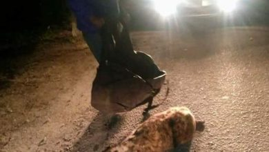 ظهور حيوانات مفترسة في شوارع الإسكندرية