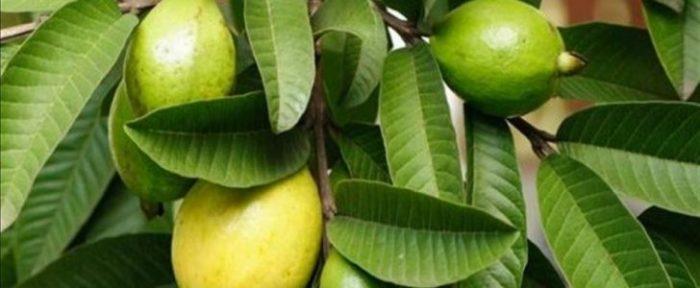 8 فوائد هامة لتناول ورق الجوافة في فصل الشتاء.. رقم 6 ستدهشك