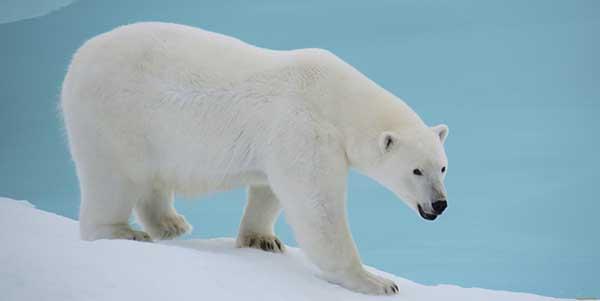 غزو الدببة البيضاء لروسيا